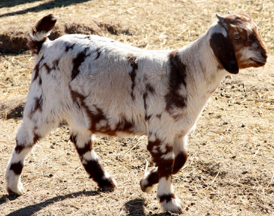 Fullblood Boer Goat kids for sale in AL, AK, AZ, AR, CA, CO, CT, DE, FL, GA, HI, ID, IL, IN, IA, KS, KY, LA, ME, MD, MA, MI, MN, MS, MO, MT, NE, NV, NH, NJ, NM, NY, NC, ND, OH, OK, OR, PA, RI, SC, SD, TN, TX, UT, VT, VA, WA, WV, WI, WY