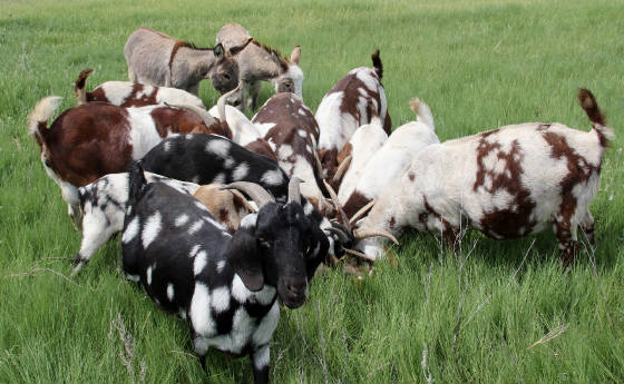 Butte Ditch Spotted Dappled Boer Goats for sale in CO